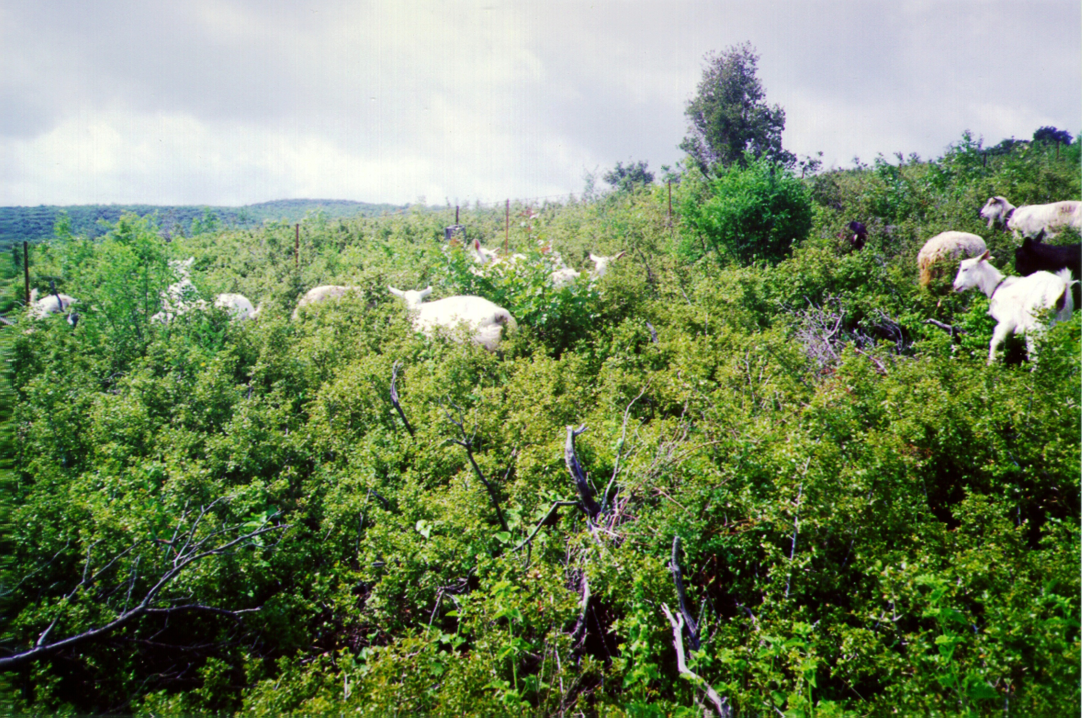Goats grazing on dense shrubland